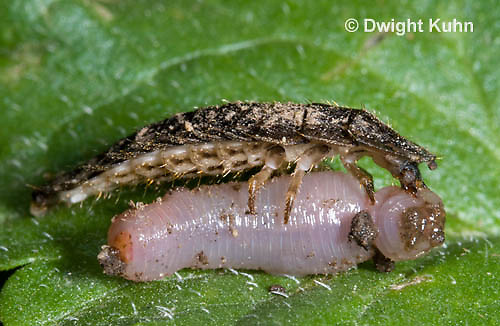 1C24-858z     Firefly larva eating worm -  Lightning Bug - several month old larva - Photuris spp.