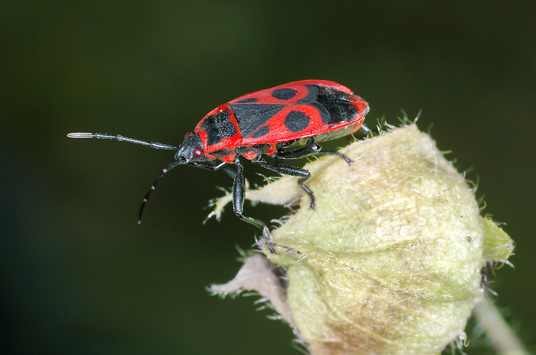 Fire Bug - Pyrrhocoris apterus