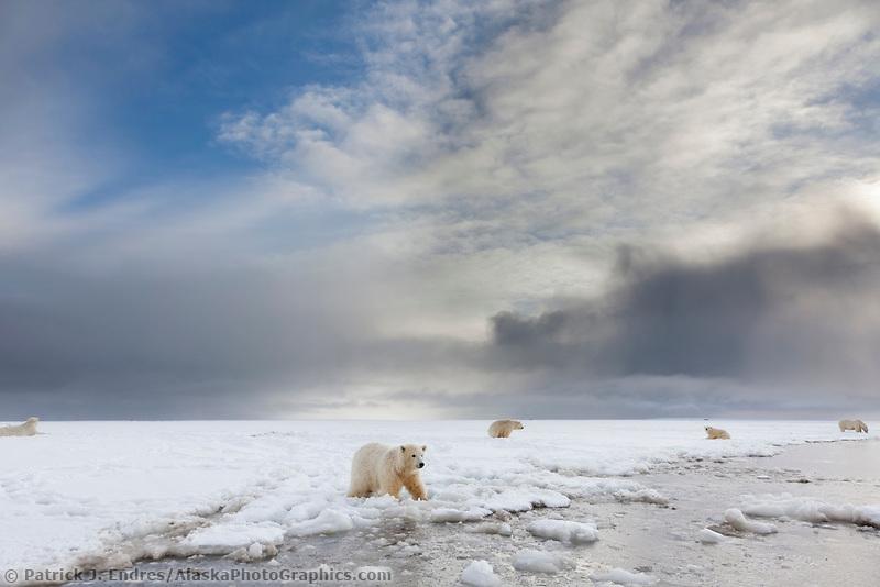 Polar bears in the snow along the edge of a barrier island in the Alaska's Beaufort sea.