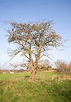 Leafless tree stands alone on field boundary, Sutton, Suffolk, England