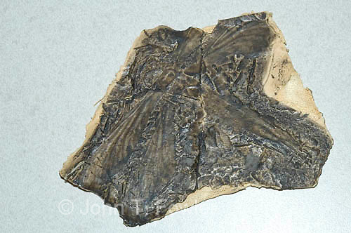 carboniferous period dragonfly fossil, mischoptera nigrra