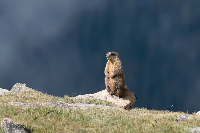 Yellow-bellied marmot, Marmota flaviventris, Trail Ridge, Rocky Mountain National Park, Colorado