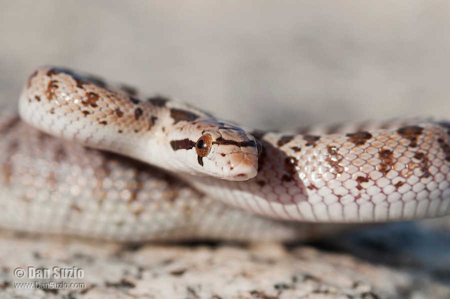 Juvenile Mojave glossy snake, Arizona elegans candida (Arizona occidentalis candida), in a defensive pose. Alabama Hills near Lone Pine, California