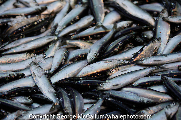 Herring Clupea Harengus catch lying on deck of deep sea trawler. Barents sea, arctic Norway
