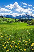 Austria, Styria, Ramsau am Dachstein: spring meadows, at background snowcapped Schladming Tauern mountains | Oesterreich, Steiermark, Ramsau am Dachstein: auf den Wiesen blueht es waehrend die Schladminger Tauern im Hintergrund noch teilweise schneebedeckt sind