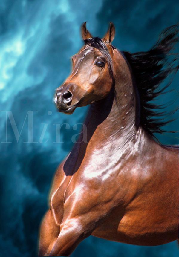 Arabian stallion runs with mane flowing.
