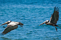 Brown Pelicans.US Virgin Islands