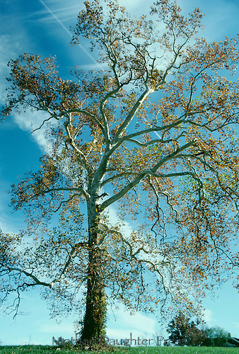 Sycamore tree stands dramatically in fall foliage with blue sky