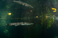 Morelet's crocodile, Central American crocodile, Mexican crocodile, or Belize, Caribbean, Atlantic crocodile, Crocodylus moreletii, swims in cenote, or freshwater spring, with reflection on underside of water surface, near Tulum, Yucatan Peninsula, Mexico, Caribbean, Atlantic