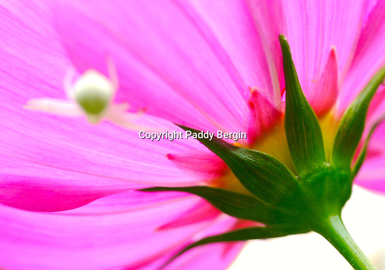 A tiny white spider rests underneath a Cosmos flower.<br />