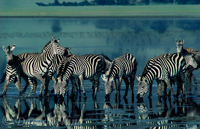 699376016 a wild herd of burchells zebras equus burchelli drink at a shallow lake in ngorogoro crater national park tanzainia