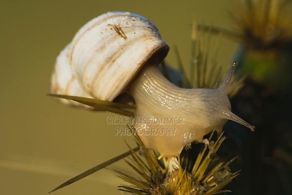 Land Snail (Gastropoda), adult on cactus, Rio Grande Valley, Texas, USA
