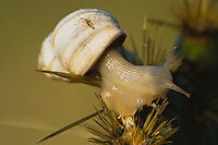 Land Snail (Gastropoda), adult on cactus, Rio Grande Valley, Texas, USA