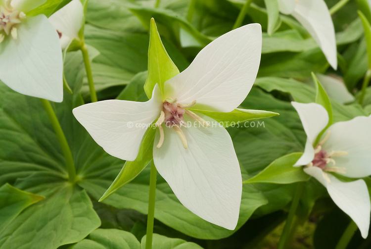 Nodding wakerobin native wildflower Trillium flexipes in white spring flowers