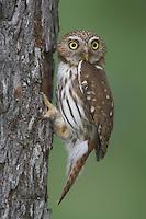 Ferruginous Pygmy-Owl, Glaucidium brasilianum, adult, Willacy County, Rio Grande Valley, Texas, USA, May 2007