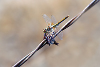 Dragonfly on barbed wire. Oregon