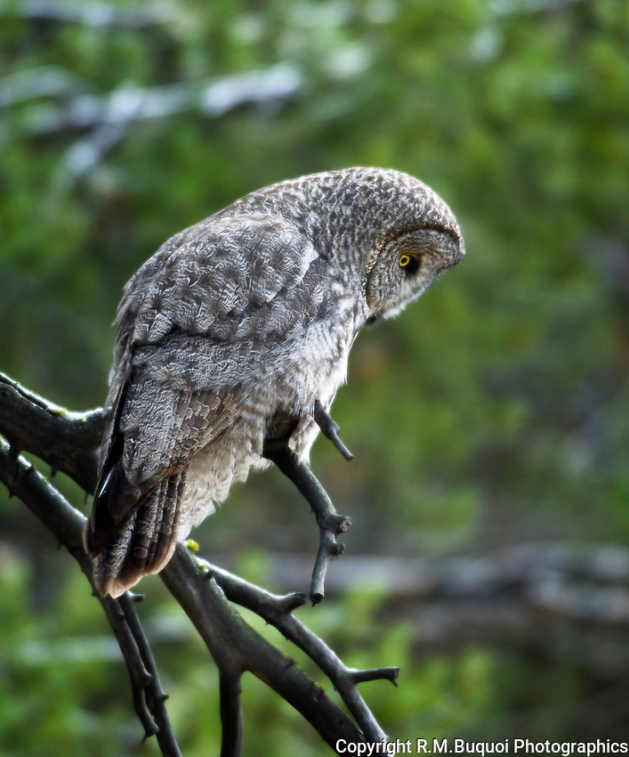 Great Gray Owl, hunting in Yellowstone National Park