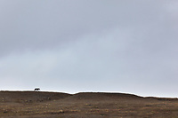 Arctic wolf on a ridge in the Brooks Range mountains, National Petroleum Reserve, Alaska.