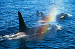 Three orca whales emerge from the Pacific Ocean, creating a rainbow with there spray, British Columbia, Canada.