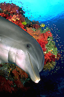 This bottlenose dolphin, Tursiops gilli, was digtially added to this soft coral reef scene photographed in Fiji.