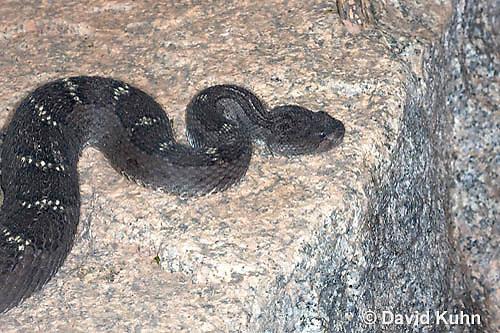 0514-1102  Arizona Black Rattlesnake, Upland Rattlesnake, Crotalus cerberus (formerly Western Rattlesnake or Prairie Rattlesnake, Crotalus oreganus cerberus or Crotalus viridis cerberus)  © David Kuhn/Dwight Kuhn Photography