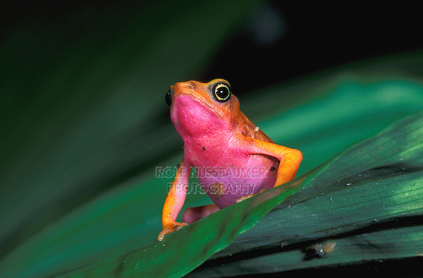 Harlequin Toad or Cayenne Stubfoot Toad (Atelopus flavescens), adult, Guayana