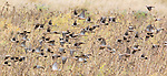 Black-winged ground doves, Metriopelia melanoptera, at Antisana Ecological Reserve, Ecuador
