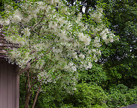 Chionanthus virginicus (White Fringetree) flowering in Cranmer garden - Larry Weiner Design