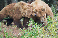 Two female brown bears prepare for a fight at the edge of a forest along the Brooks River, Katmai National Park, Alaska