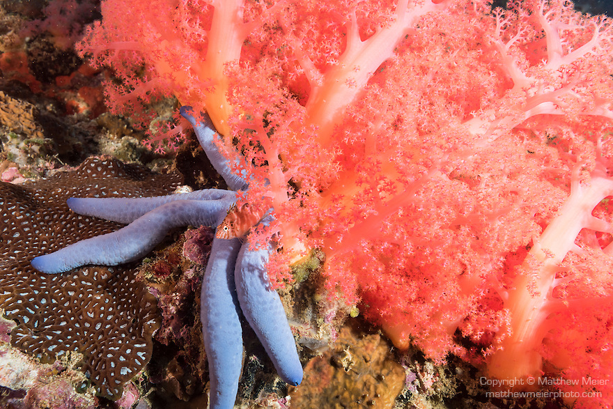 Malapascua Island, Cebu, Philippines; a Threadfin Hawkfish sitting on  a blue sea star with a pink and red soft coral backdrop on the coral reef