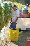 An agricultural worker picks wine grapes in Benon Winery's vineyard located on the north shore of Lake Chelan.