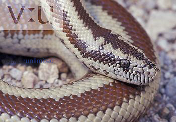 Arizona Rosy Boa ,Lichanura trivirgata,, Arizona, USA.