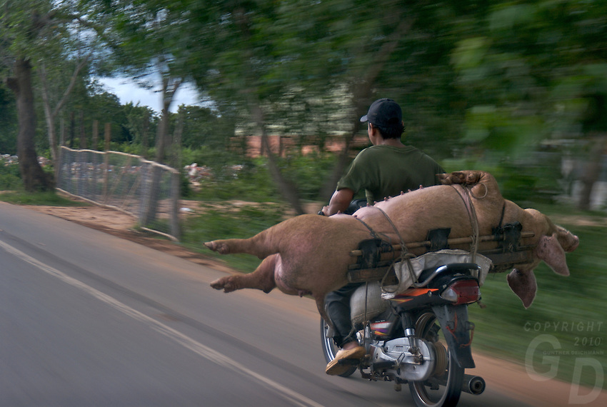 CAMBODIA 2007,ON THE ROAD, BI.KE AND LIFE PIG FOR THE LOCAL MARKET