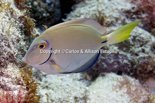 Acanthurus tractus,, Ocean surgeonfish, Florida Keys