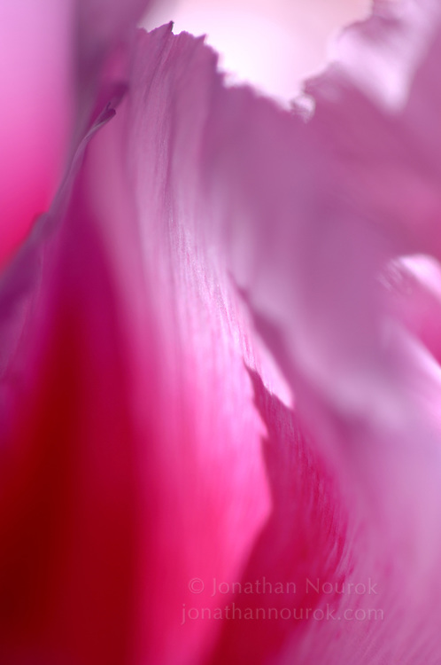 close-up of a pink godetia flower