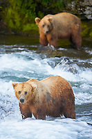 A large, old brown bear (grizzly bear) wades across Brooks River. Coastal and near-coastal brown bears in Alaska can live to 25 years of age, weigh up to 1400 lbs and stand over 9 feet tall. Katmai National Park, Alaska, Ursus arctos middendorffi, Alaska, USA
