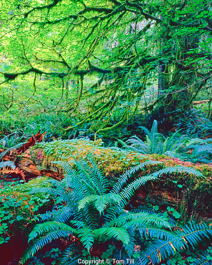 Hoh rainforest, Olympic National Park, Washington, afternoon, July