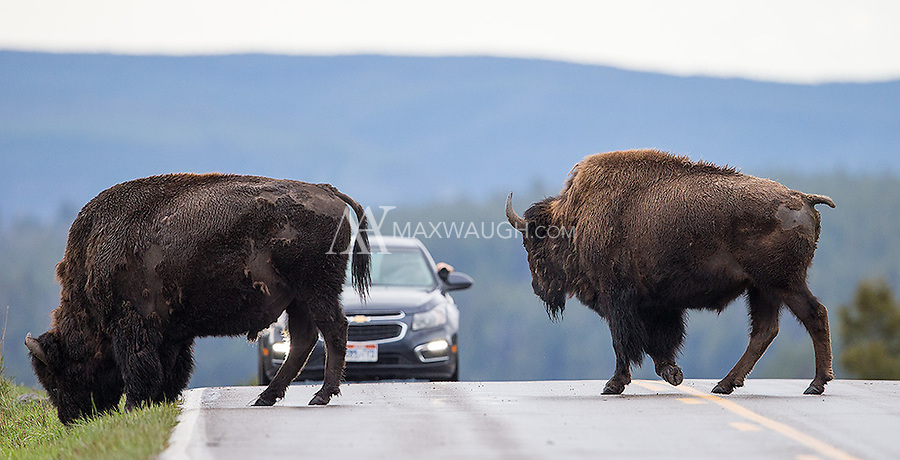 Bison cross the road in front of traffic in Yellowstone.