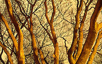 Available as a fine art print and for commercial/editorial licensing directly from Jeff.  Original image photographed on 35mm transparency film.<br /> <br /> Detail of Tree Trunks and Branches Illuminated by City Lights on an Overcast Winter Evening, Stuyvesant Square Park, Lower Manhattan, New York City, New York State, USA