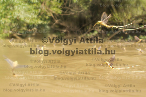 Yearly few days long swarming of the long-tailed mayfliy (Palingenia longicauda) on the river Tisza in Tiszainoka (some 135 km south-east from Budapest), Hungary on June 20, 2012. ATTILA VOLGYI