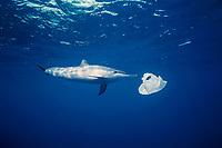 Hawaiian spinner dolphin, or Gray's spinner dolphin, Stenella longirostris longirostris, playing with a plastic bag, Kona Coast, Big Island, Hawaii, USA, Pacific Ocean