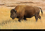 Bison Female, Hayden Valley, Yellowstone National Park, Wyoming