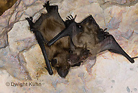MA20-727z  Big Brown Bat 6 week and 4 week old young,  Eptesicus fuscus