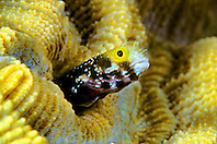 spinyhead blenny, Acanthemblemaria spinosa, Sergent Major Reef, Cayman Brac, Cayman Islands, Caribbean Sea, Atlantic Ocean
