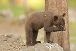 SEQUENCE 7 OF 12:  I can't bear it!<br /> <br /> This cub appears to be having a bad day as it covers its face with its paw.  The three-month-old brown bear hides his face and growls moodily.<br /> <br /> The stroppy looking cub was photographed in the Finnish spruce and pine covered taiga, or boreal forest, in Martinselkonen.  SEE OUR COPY FOR DETAILS.<br /> <br /> Please byline: Valtteri Mulkahainen/Solent News<br /> <br /> © Valtteri Mulkahainen/Solent News & Photo Agency<br /> UK +44 (0) 2380 458800