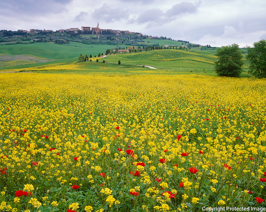Tuscany, Italy, <br /> Field of yellow mustard and red poppies with rolling hills and farms beneath the hill town of Pienza - the Val d'Orcia area