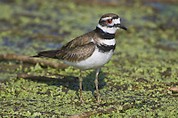 Killdeer walking on a mat of weeds