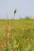 Male dickcissel on blackland prairie at Grandview Wildlife Management Area near Columbus, Arkansas.