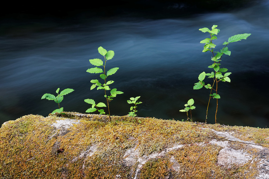 Alder saplings growing from moss-covered log, Lillian Creek, Olympic National Park, Washington