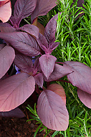 Amaranthus tricolor 'Red Army', red amaranth salad greens with Rosemarinus officinalis rosemary herb